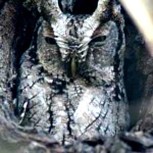Eastern Screech owls,